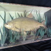 19th Century Antique Large Bream Fish Glass Display Case Wall Hanging Mancave