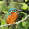 BEAUTIFUL KINGFISHER PRINTS......